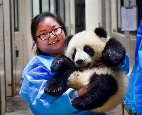 work-as-a-panda-babysitter